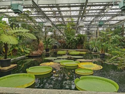 reuzenwaterlelies-plantentuin-victoriaserre