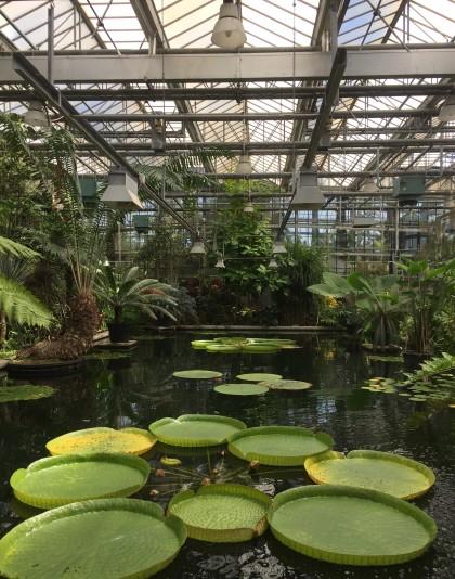 reuzenwaterlelies-victoria-serre-plantentuin-juni2021-1